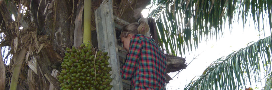 Collecting Rhodnius pallescens in palm trees outside of Panama City