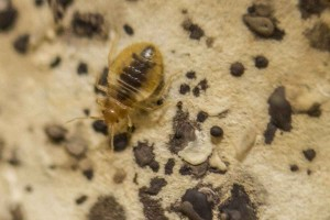 The common bed bug, Cimex lectularius. Penn Medicine/Robert Press