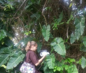 Setting Noireau traps to collect triatomines in Trinidad.